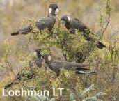 Carnaby's Black - Calyptorhynchus latirostris LLO-071 ©Jiri Lochman - Lochman LT