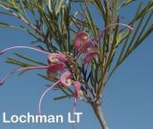 Grevillea pectinata Comb-leaved Grevillea AFD-258 ©Marie Lochman- Lochman LT
