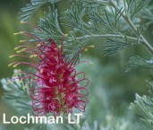 Grevillea preissii LLN-839 ©JIri Lochman- Lochman LT