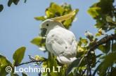 Sulphur-creasted cockatoo LLO-109 ©Jiri Lochman - Lochman LT