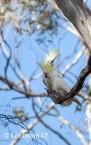 Sulphur-creasted cockatoo LLO-110 ©Jiri Lochman - Lochman LT