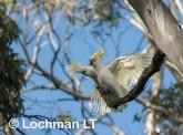 Sulphur-creasted cockatoo LLO-111 ©Jiri Lochman - Lochman LT