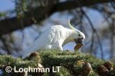 Sulphur-crested Cockatoo LLD-927 © Lochman Transparencies