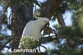 Sulphur-crested Cockatoo LLD-928 © Lochman Transparencies