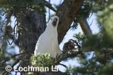 Sulphur-crested Cockatoo LLD-932 © Lochman Transparencies