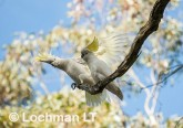 Sulphur-crested Cockatoo LLK-979 ©Jiri Lochman - Lochman LT