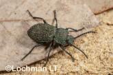 Adelium augurale - Darkling Beetle LLO-326 ©Jiri Lochman - Lochman LT
