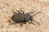 Adelium augurale - Darkling Beetle LLO-328 ©Jiri Lochman - Lochman LT