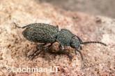 Adelium augurale - Darkling Beetle LLO-329 ©Jiri Lochman - Lochman LT