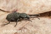 Adelium augurale - Darkling Beetle LLO-330 ©Jiri Lochman - Lochman LT