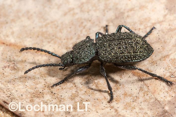 Tenebrionidae – Adelium augurale – Darkling Beetle