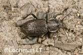 Adelium sp. (Warren River) - Darkling Beetle LLJ-355 © Jiri Lochman - Lochman LT