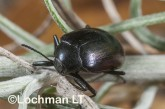 Amarygmus sp. (Dragon Rocks) - Darkling Beetle LLO-325 ©Jiri Lochman - Lochman LT