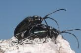 Amarygmus sp. (Peak Charles) - Darkling Beetle LLO-324 ©Jiri Lochman - Lochman LT