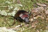 Cyphaleus planus - Darkling Beetle - LLJ-359 ©Jiri Lochman - Lochman LT