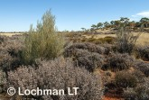 Grevillea acacioides with flowering Thryptomene AFD-129 ©Marie LochmanLT