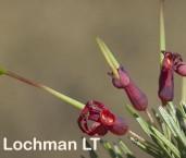 Grevillea acuaria AFD-407 ©Marie Lochman- Lochman LT