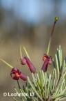 Grevillea acuaria AFD-410 ©Marie Lochman- Lochman LT
