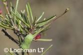 Grevillea acuaria AFD-411 ©Marie Lochman- Lochman LT