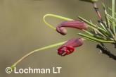 Grevillea acuaria AFD-413 ©Marie Lochman- Lochman LT
