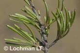 Grevillea acuaria AFD-415 ©Marie Lochman- Lochman LT