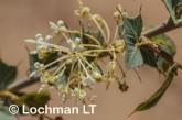 Grevillea amplexans LLN-661 ©Jiri LochmanLT
