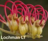 Grevillea concinna Red Combs  AFD-149 ©Marie LochmanLT