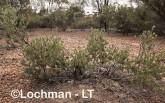 Adenanthos argyreus Little Woollybush  AFD-487 ©Marie Lochman - Lochman LT