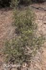 Adenanthos argyreus Little Woollybush  AFD-488 ©Marie Lochman - Lochman LT