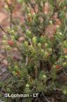 Adenanthos argyreus Little Woollybush  LLN-983 ©Jiri Lochman - Lochman LT