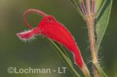 Adenanthos barbiger - Hairy Jugflower   AFD-239 ©Marie Lochman - Lochman LT