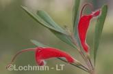 Adenanthos barbiger - Hairy Jugflower AFD-480 ©Marie Lochman - Lochman LT