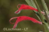 Adenanthos barbiger - Hairy Jugflower AFD-485 ©Marie Lochman - Lochman LT