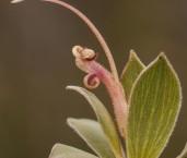Adenanthos venosus LLO-126  ©Jiri Lochman - Lochman LT
