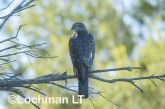Accipiter cirrhocephalus - Collared Sparowhawk LLO-536 ©Jiri Lochman - Lochman LT