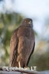 Accipiter fasciatus - Brown Goshawk   LLK-003 © Jiri Lochman LT
