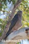 Accipiter fasciatus - Brown Goshawk   LLO-540 © Jiri Lochman LT
