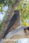 Accipiter fasciatus - Brown Goshawk   LLO-541 © Jiri Lochman LT