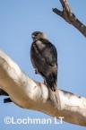 Accipiter fasciatus - Brown Goshawk   LLO-544 © Jiri Lochman LT