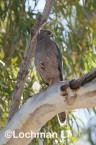 Accipiter fasciatus - Brown Goshawk   LLO-545 © Jiri Lochman LT