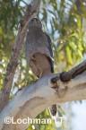 Accipiter fasciatus - Brown Goshawk   LLO-546 © Jiri Lochman LT