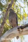 Accipiter fasciatus - Brown Goshawk   LLO-547 © Jiri Lochman LT