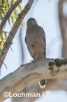 Accipiter fasciatus - Brown Goshawk   LLO-550 © Jiri Lochman LT