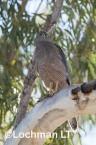 Accipiter fasciatus - Brown Goshawk   LLO-551 © Jiri Lochman LT
