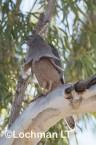 Accipiter fasciatus - Brown Goshawk   LLO-552 © Jiri Lochman LT