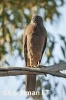 Accipiter fasciatus - Brown Goshawk   LLO-555 © Jiri Lochman LT