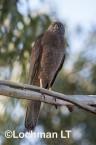 Accipiter fasciatus - Brown Goshawk   LLO-556 © Jiri Lochman LT