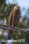 Accipiter fasciatus - Brown Goshawk   LLO-557 © Jiri Lochman LT
