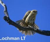 Falco berigora Brown Falcon YDY-366 ©Jiri Lochman- Lochman LT