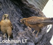 Falco berigora - Brown Falcons XTY-252 ©Jiri Lochman- Lochman LT.